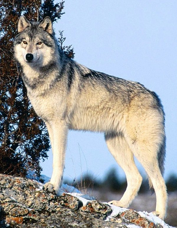 Le Loup Gris